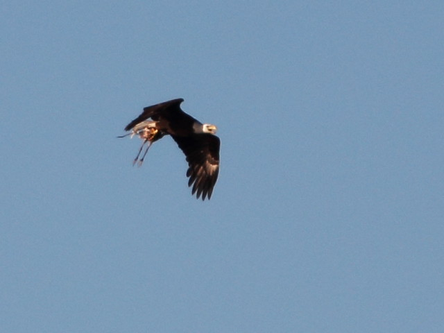 Bald Eagle with heron prey 20140216