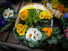 pansy(0.0), annual plant(1.0), flower arranging(1.0), flower(1.0), yellow(1.0), floral design(1.0), flora(1.0), floristry(1.0), primula(1.0),