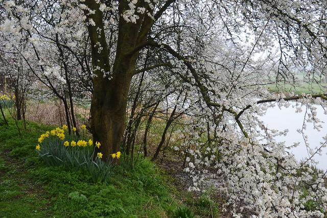 Denford, Daffoldils and Blossom.