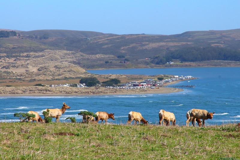 IMG_2884 Tule Elk