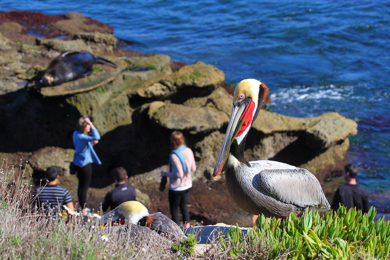 IMG_7499 California Brown Pelican, People and Sea Lion