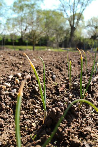 Huerto Los Tulipanes, cebollas