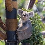 Koala Bear, San Diego Zoo