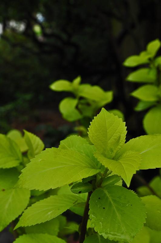Hydrangea macrophylla 'Sun Goddess'