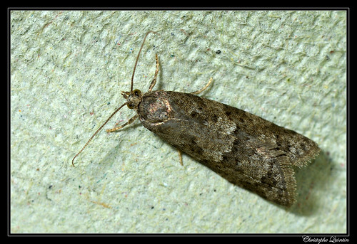 Cnephasia sp. (Cnephasia communana ?)