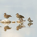 Green-wingedTeals and Lesser Yellowlegs by Don Delaney