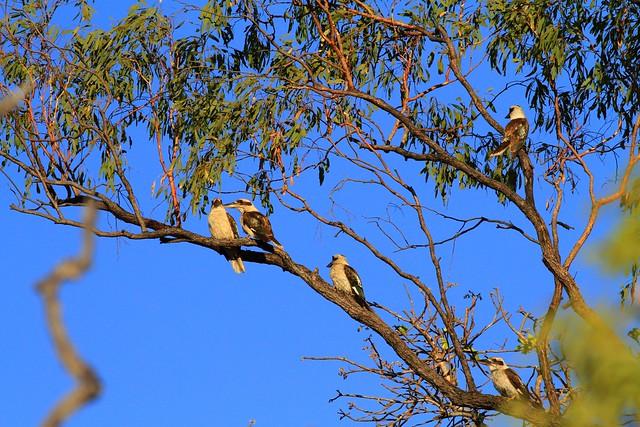 笑翠鳥Laughing Kookburra-澳洲昆士蘭Undara Experience-20141117-賴鵬智攝-2