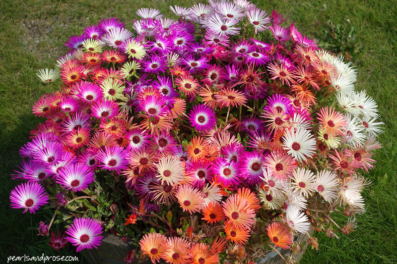 fairbanks_asters_web