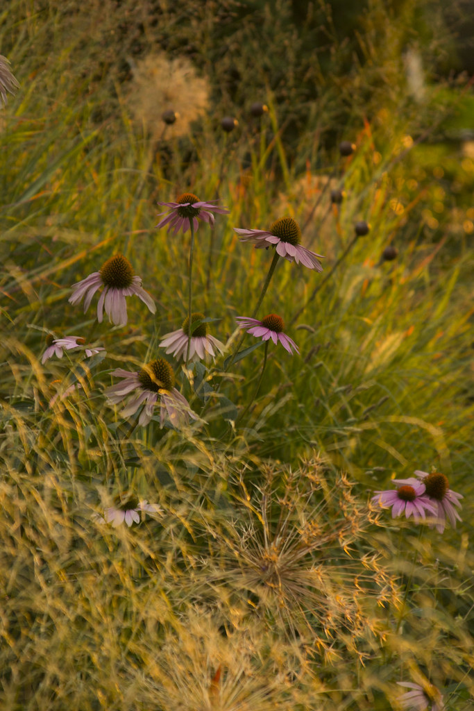 echinacea deschampsia sunset