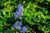 California Lilacs