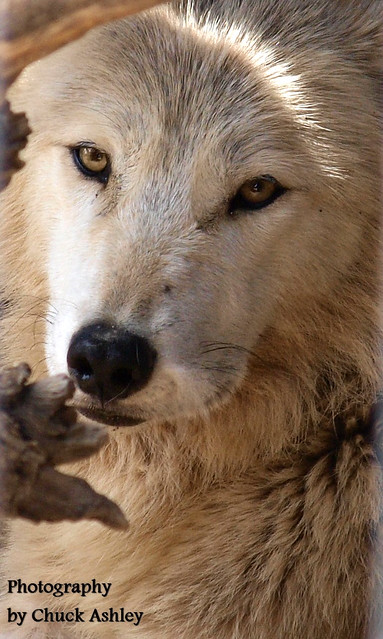 2013-05-19 Fur-ever Wild Wolves-Nahanni-W 031