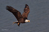 Bald Eagle Flying In