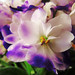 Small photo of African Violet