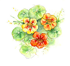 Edible Plants: Nasturtiums