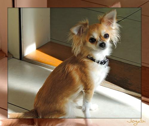 Canell (Chihuahua) by Jogabi-Michèle
