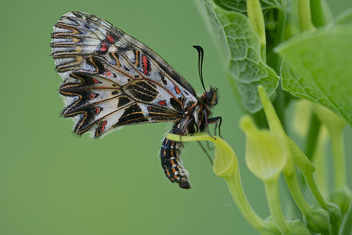 Zerynthia polyxena (Southern Festoon, zuidelijke pijpbloemvlinder)