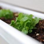 Rain Gutter Lettuce