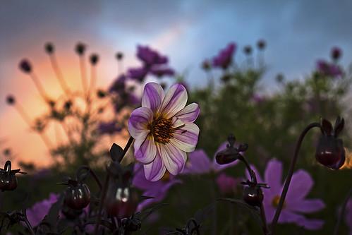 flowers sunset summer dof sweden bokeh pov flash jämtland frösön canoneos50d magnuslögdberg