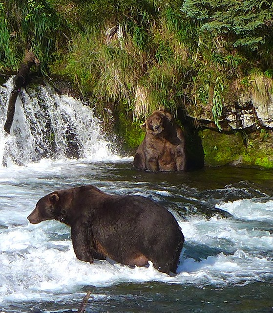 Brown Bears at Brooks Falls-Week 34