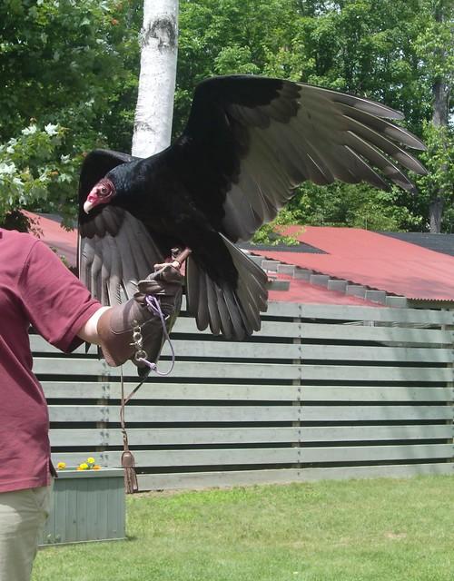 VINS turkey vulture