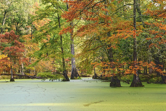 Mingo National Wildlife Refuge, in Puxico, Missouri, USA - duckweed