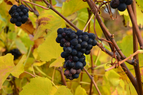 grapes by Ginas Pics