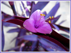 Flower of Tradescantia pallida 'Purpurea' or 'Purple Heart' (Purple Queen, Purple Secretia, Wandering Jew), June 6 2013