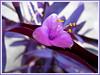 Tradescantia pallida 'Purple Heart' or 'Purpurea' (Purple Queen, Purple Heart, Purple Secretia, Wandering Jew)