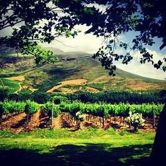 The Lanzerac grapes #grapes #vineyard #wine #winery #lanzerac #southafrica #stellenbosch
