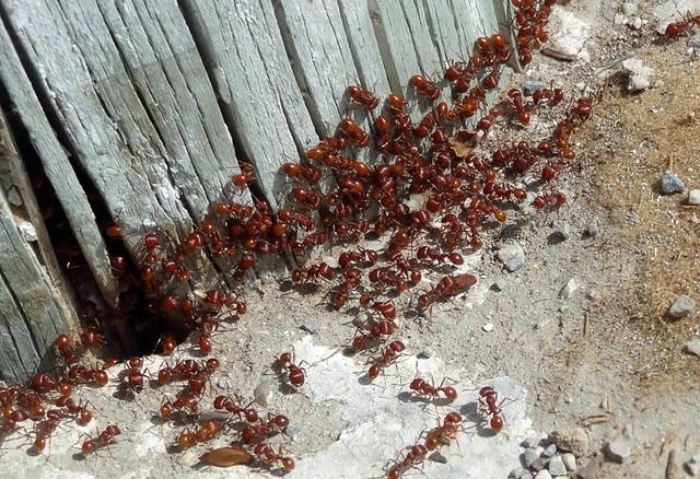 ants-mexico
