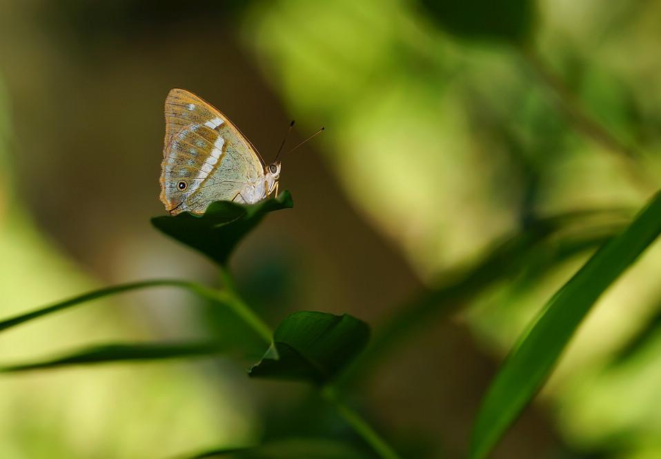 鎧蛺蝶屬金鎧蛺蝶01(雌)