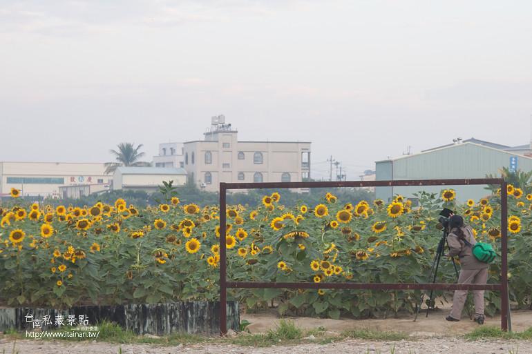 台南私藏景點-新市花海 (6)
