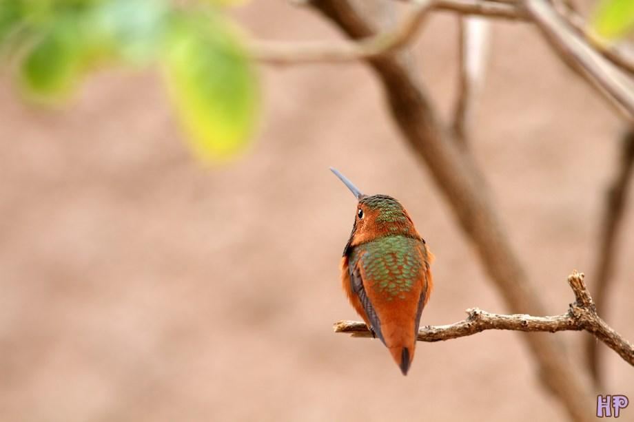 Allen's Hummingbird 020314-2