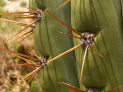 Organ pipe cactus (Stenocereus thurberi) close up
