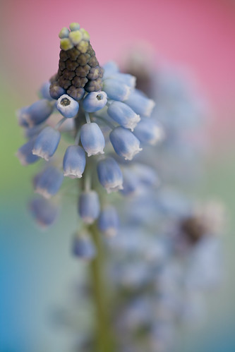 Blue Grapes~ by conniee4 aka Connie Etter