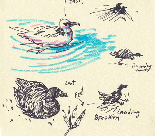 February 2014: Coots by apple-pine