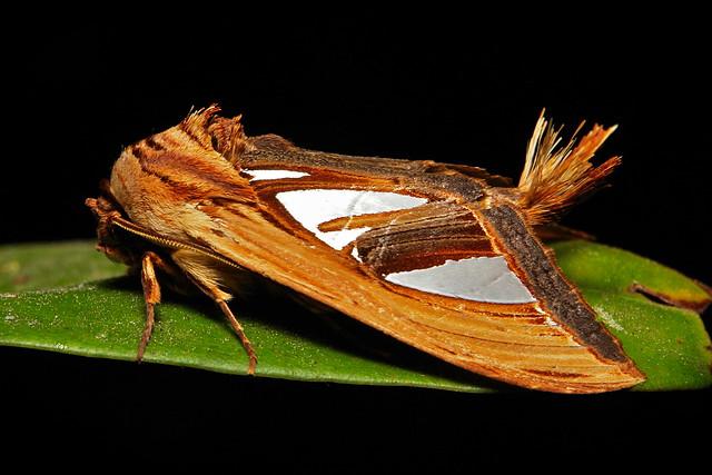 Prominent Moth (Tarsolepis taiwana, Notodontidae)