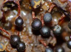 Slime Mold (Trichia botrytis) sporangia ripening