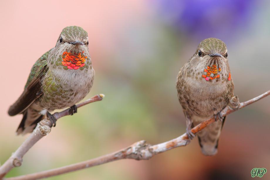 Anna's-Hummingbird-040214-2