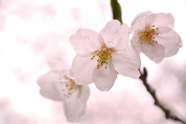 naritasan_sakura_20140402_2