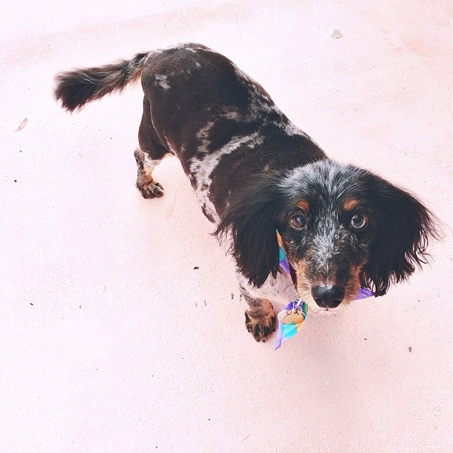 Maya after a visit to the groomers... She looks like a short haired #dachshund now! #pictapgo_app #doxie #dog #dogs #dogstagram #dogsofinstagram #petstagram