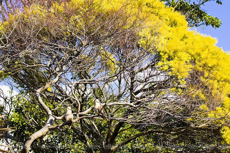 Magnificent wattle tree with birds