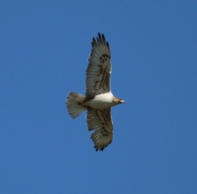 Buteo regalis (Ferruginous Hawk)