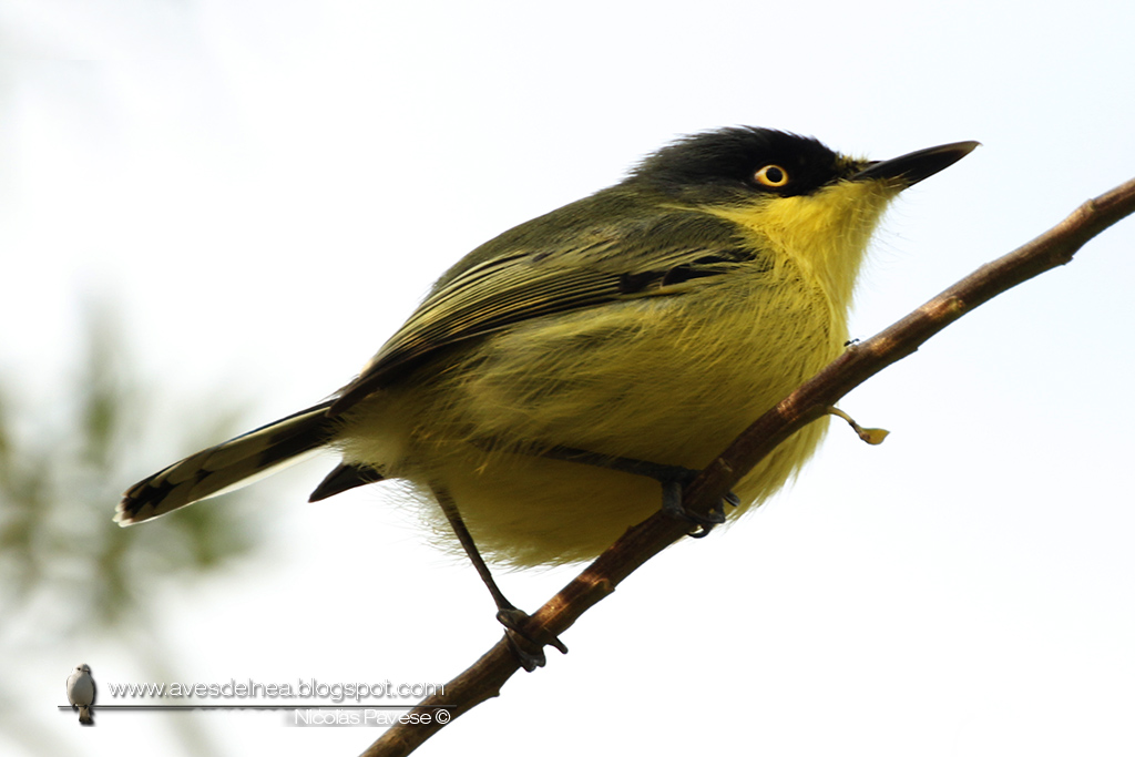_MG_Mosqueta pico pala (Common tody-Tyrant) Todirostrum cinereum2025