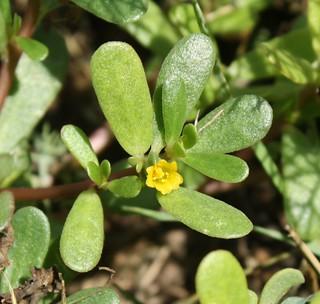 2015-8-7. Purslane blossom 1