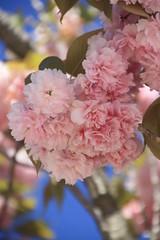 Les flors del cirerer (sakura)