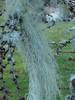 8668 Strands of Lichen