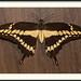 Papilio crephontes - Giant Swallowtail por J. Amorin