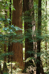Mighty Redwood
