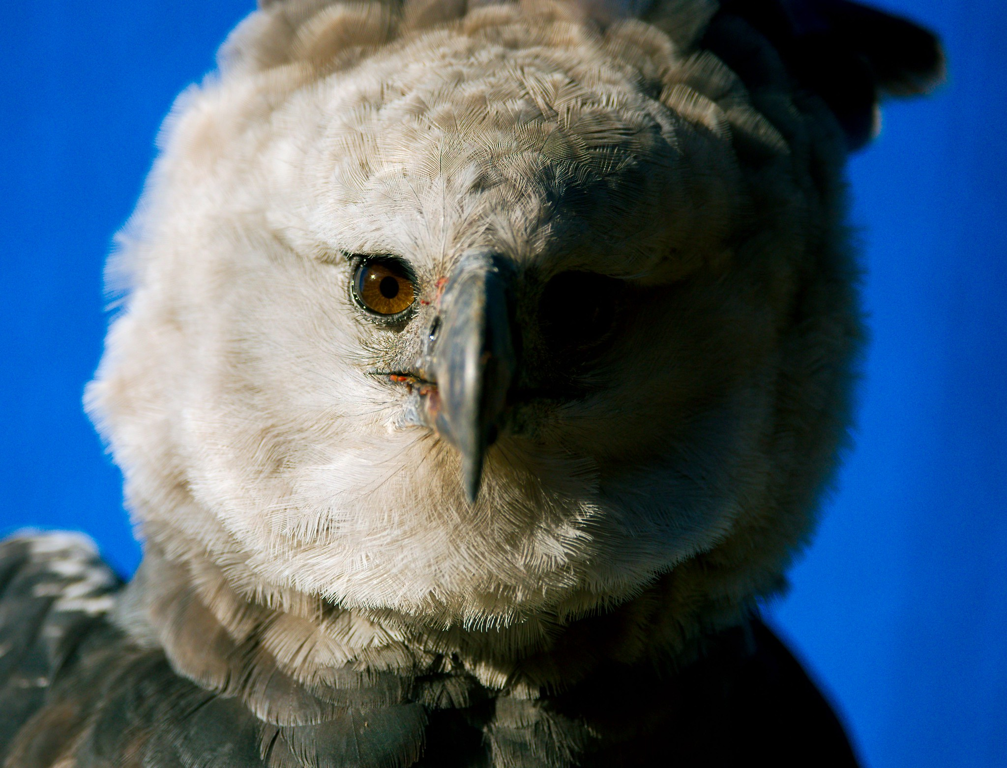 Harpy Eagle_4